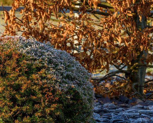 Hornbeam Yew Combination Taxus Carpinus winter